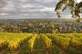 Vineyard at Neroberg hill — Stock Photo