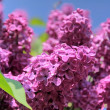 Lush flowering lilac purple — Stock Photo