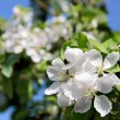 Apple blossom tree — Stock Photo