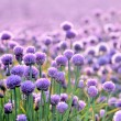 Lush blooming chives field — Stock Photo