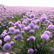 Flowering onion field — Stock Photo