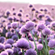 Lilac  onion field — Stock Photo
