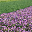 Flowering onion field — Foto Stock
