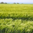 Field with green ears of corn — Stock Photo
