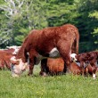 Cows and calves in the pasture — Stock Photo #28817967