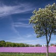Blossoming onion field with spring tree — Stock Photo