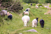 Young lambs — Stock Photo