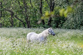 Two white horses in flower meadow — Stock Photo
