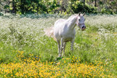 White horse in flower meadow — Stock Photo