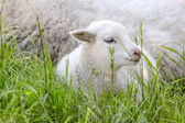 Little lamb in the green grass — Stok fotoğraf