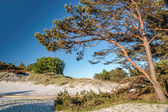 Pine on the sandy beach on Bornholm — Stock Photo