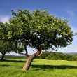 Stock Photo: Orchard in summer time