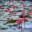 Stock Photo: Pink water lilies