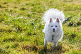 White Pomeranian dog running — Stock Photo