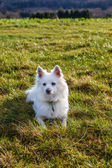 White Pomeranian dog — Stock Photo