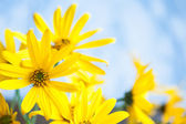 Yellow flowers on a blue background — Stock Photo