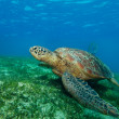 Stock Photo: Enormous seturtle in gulf