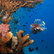 Stock Photo: Lionfish and secucumber under coral