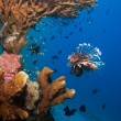 Lionfish and sea cucumber under coral - Stock Photo
