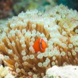 Cute clownfish in anemones - Stock Photo