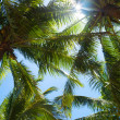 Stock Photo: Tops of palm trees