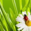 Ladybug in green grass — Stock Photo