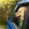 Funny dog in blue car - Stock Photo