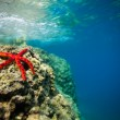 Beautiful red starfish on rock  underwater - Stock Photo