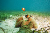 Family of clownfishes on sandy bottom — Photo