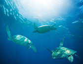 School of sea turtles migrating — Stock Photo