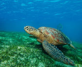 Enormous sea turtle in gulf — Stock Photo