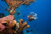 Lionfish and sea cucumber under coral — Stock Photo