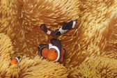 Macro shoot of clownfish — Stock Photo