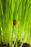 Mariquita mojado en hierba verde — Foto de Stock