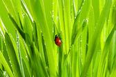 Bella coccinella su erba verde — Foto Stock