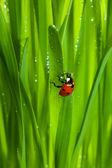 Biedronka na mokrej trawie musujące — Zdjęcie stockowe