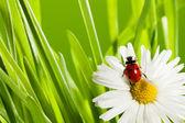 Biedronka w zielonej trawie — Zdjęcie stockowe