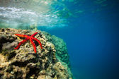 Beautiful red starfish on rock underwater — Stock Photo