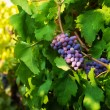 Stock Photo: Dark grape on sunny midday