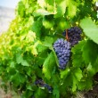 Ripe juicy grapes growing in valley - Stock Photo