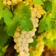 Beatiful bunch of white grape — Stock Photo