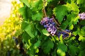 Dark grape on sunny midday — Stock Photo