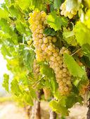 成熟的葡萄串 — 图库照片