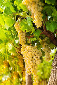 White grape growing in countryside — Stock Photo
