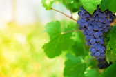 Midday in vineyard — Stock Photo