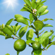 Branch with growing lemons — Stock Photo #24686855