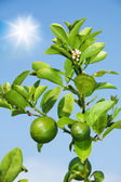 Branch with growing lemons — Stock Photo