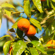 Stock Photo: Tree with tangerines