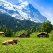 Cows on the mountain pasture — Stock Photo