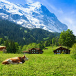 Cows on the mountain pasture — Stock Photo #28469637